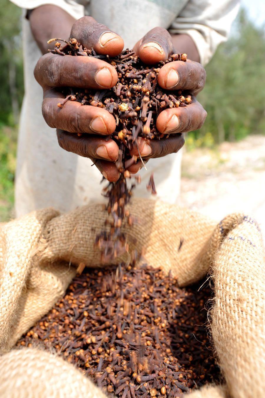 production clou de girofle Zanzibar
