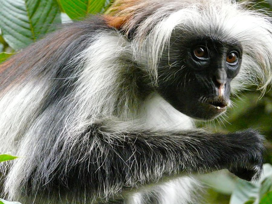 singe colobe Zanzibar Jozani