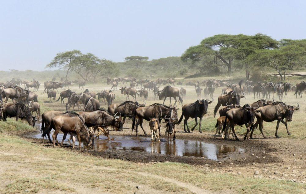 Gnu-Wanderung Tansania